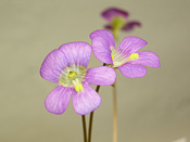 Pinguicula debbertiana