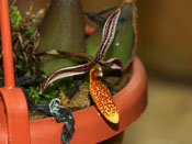Bulbophyllum coloratum